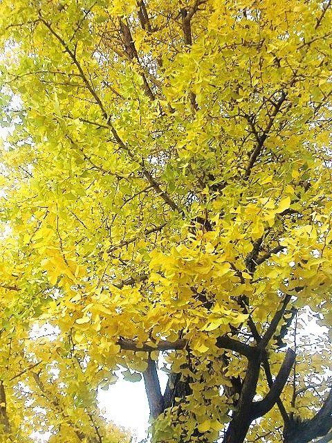 どこもきれいに黄葉ですね!