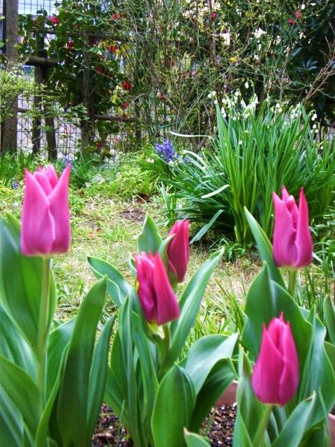 3月24日 チューリップの開花宣言